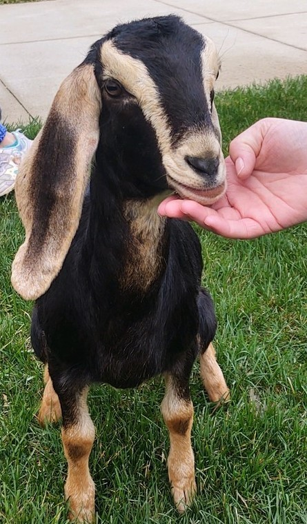 Cute photo of goat