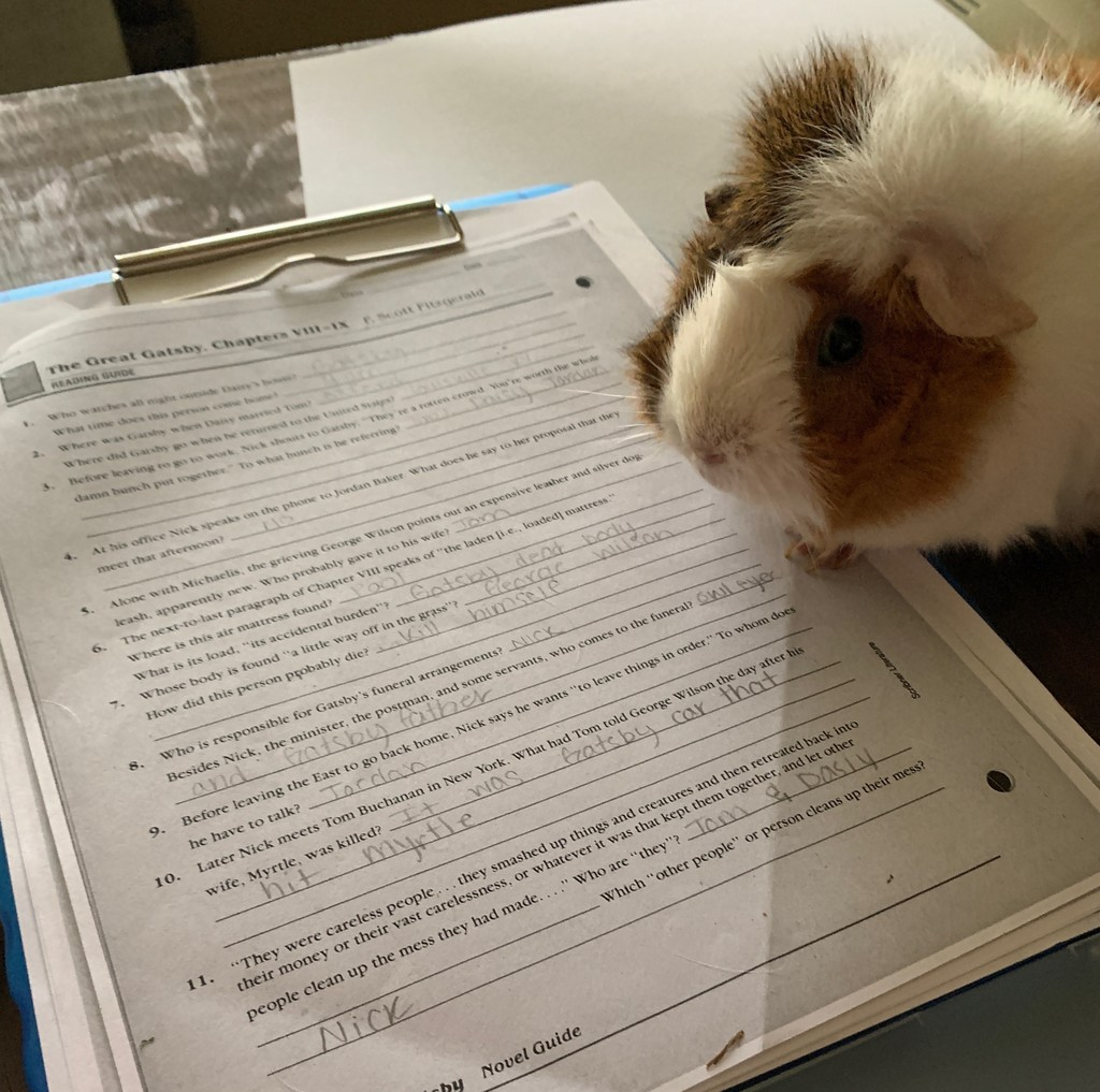 guinea pig doing homework